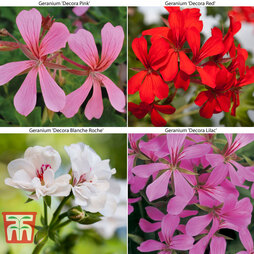 Geranium 'Decora Collection'
