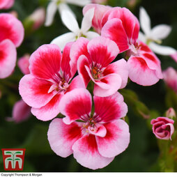 Geranium 'Flower Fairy Pink Splash'
