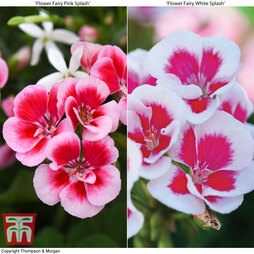 Geranium 'Flower Fairy Splash' Duo