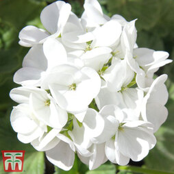 Geranium 'Horizon Pure White'