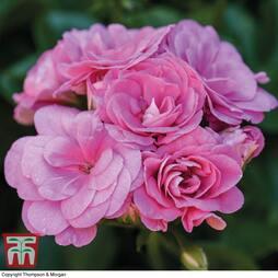Geranium 'Pink Sybil'