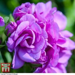 Geranium 'Blue Sybil'