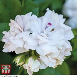 Geranium 'White Rose'