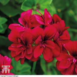 Geranium 'Rosebud Tommy'