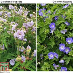 Hardy Geranium Duo (Cloud Nine + Rozanne)