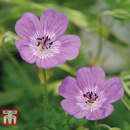 Geranium 'Bloomtime'