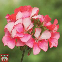 Geranium 'Bunny Pink Ice'