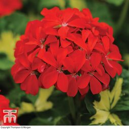Geranium 'Happy Thoughts Red'
