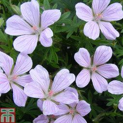 Geranium sanguineum 'Pink Pouffe'