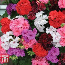 Geranium 'Rosebud Mix'