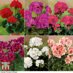 Geranium 'Grandeur Classic Collection'