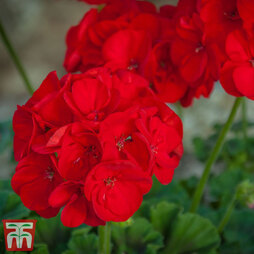 Geranium 'Horizon Deep Red'