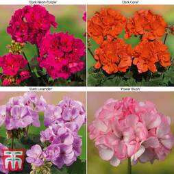 Geranium 'Grandeur® Collection'