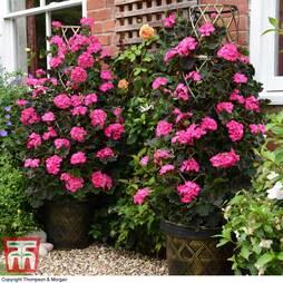 Geranium 'Tall Dark & Handsome Hot Pink'