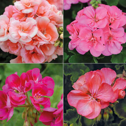 Giant Flowered Geranium Collection