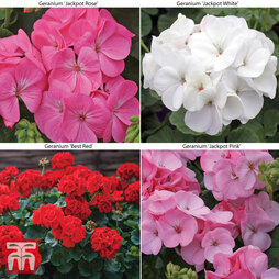 Geranium Colour Collection