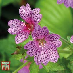 Geranium transversale 'Foundlings Friend'