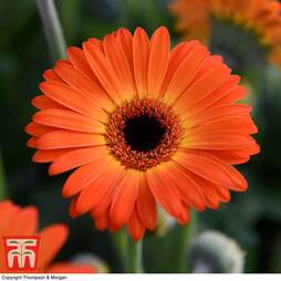 Gerbera 'Sweet Sunset®'