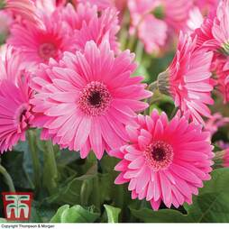 Gerbera 'Sweet Dreams'