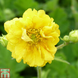 Geum 'Sunrise'