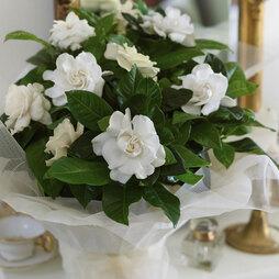 Scented Gardenia 'Snowball'