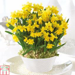 Narcissus 'Tête à Tête' - Gift