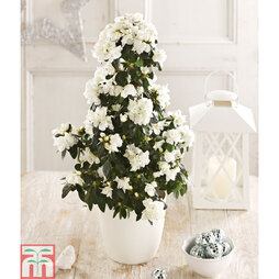 Christmas Azalea Tree - Gift
