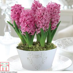 Hyacinth 'Scented Pink Pearl Basket' - Gift