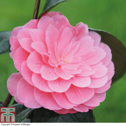 Camellia 'Pink Perfection' - Gift
