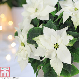 Princettia® 'Pure White' - Gift