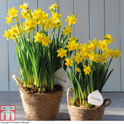 Narcissus Flower Basket - Gift
