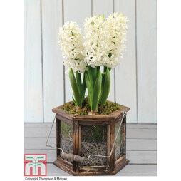 White Hyacinth Lantern - Gift