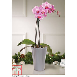 Phalaenopsis ?Vienna? (Moth Orchid) - Gift
