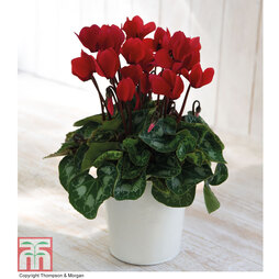 Cyclamen in a Cream Zinc Pot - Gift