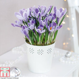 Crocus Mixed Colours - Gift