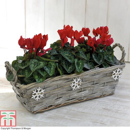 Cyclamen in a Snowflake Basket - Gift