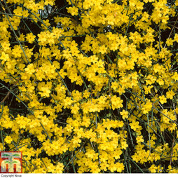 Winter Jasmine (Jasminum nudiflorum) - Gift Wrapped