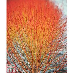 Cornus sanguinea 'Winter Flame' - Gift Wrapped