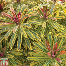 Euphorbia 'Ascot Rainbow' - Gift Wrapped