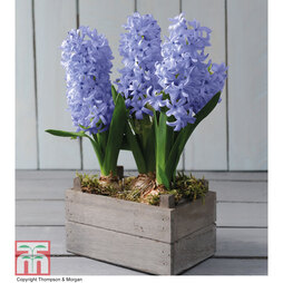 Hyacinth in Wooden Box - Gift