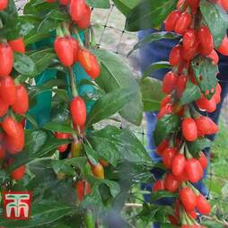 Goji Berry 'Big Lifeberry'