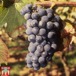 Grape 'Regent'