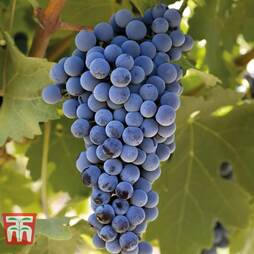 Grape 'Cabernet Franc'