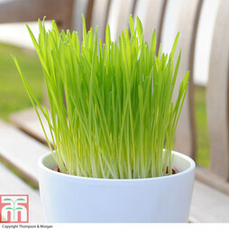 Cat Grass 'Tabby Cat'