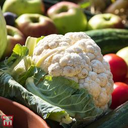 Cauliflower 'Goodman' (Summer) - Organic Seeds
