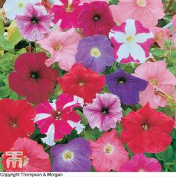 Petunia 'Rainbow Mixed' Hybrid