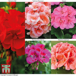 Geranium Giants Collection