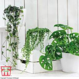 Hanging Houseplant Collection (House Plant)