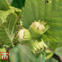 Corylus avellana (Hedging)