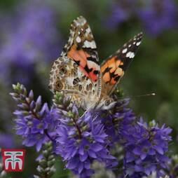 Hebe 'Garden Beauty Blue'